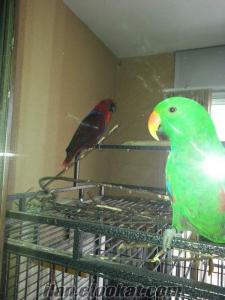 Konuşan pağan çift ( eclectus papağanı )