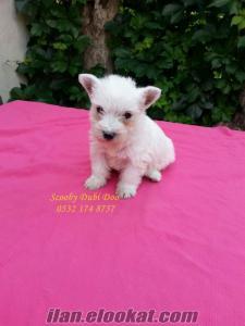 satılık west highland white terrier köpeği yavruları
