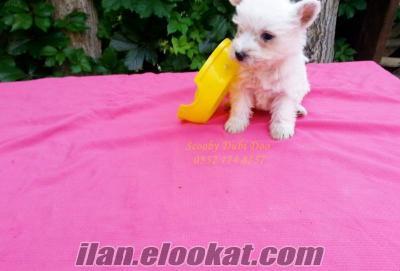 west highland white terrier yavrular satılık
