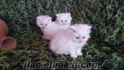 beyaz iran chinchilla bebekler