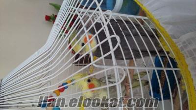 Sahibinden sultan papağanları