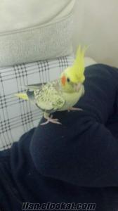 Evcil Sultan Papağanı Çapkın