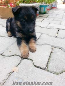 alman çoban köpeği satılık yavru