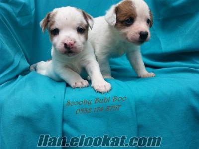 satılık jack russell terrier