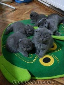 Safkan Scottish Fold ve Straight yavrular ev kedisi