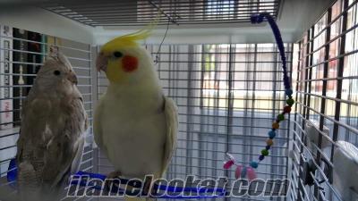 Sultan papağanı çifti 1dişi 1erkek