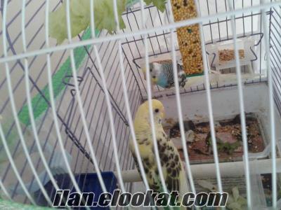 Satılık çift muhabbet kuşu y umurtalı takas değerlendirilir kafesle beraber