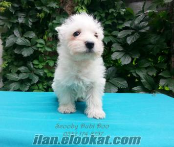 satılık west highland white terrier yavru
