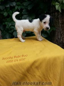 satılık jack russell terrier yavru
