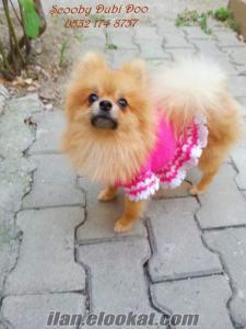 satılık pomeranian boo köpeği