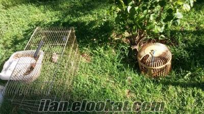 kınalı keklik yavruları