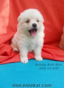 satılık boo yavruları köpeği
