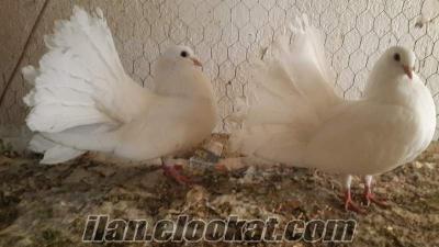 kayseriden süs güvercin leri