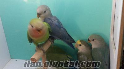 Bebek sevda papağan yavruları