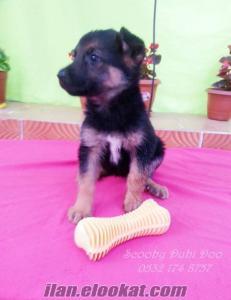 satılık alman kurdu köpeği