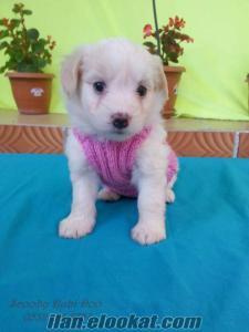 terrier satılık yavruları