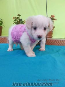 satılık terrier yavru