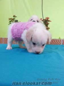terrier satılık yavru