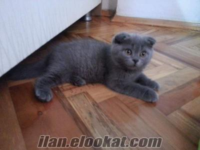 Acil satiş Scottish Fold ve Scottish Straight yavrular
