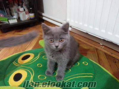 Acil satiş safkan Scottish Fold ve Scottish Straight yavrular