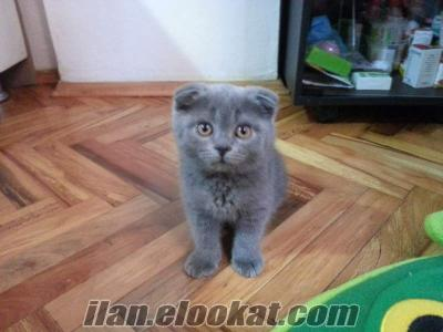 Safkan Scottish Fold ve Scottish Straight yavrular ev kedisi