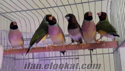 çok uygun 6 adet gouldian Finch 3 dişi 3 erkek