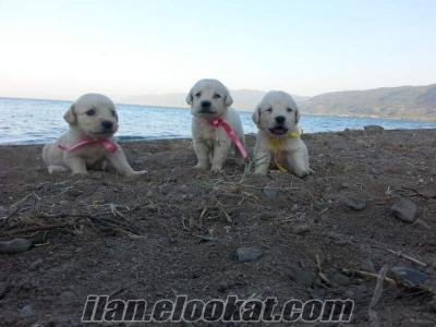 golden retriever satılık yavruları
