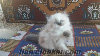 iran kedisi persian saf iran kedisi persian
