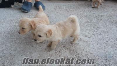 İzmirde sahibinden satılık maltese terrier köpek yavruları 4 tane