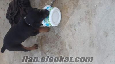 Acil satılık Rottweiler antalya manavgat maması tasmasi herseyi ni vericem