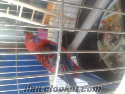 Sahibinden satılık Rozella Elegance papağanı kafesiyle.