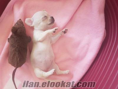 Ankara Chihuahua şivava secereli safkan erkek dişi yavrular mini teacup