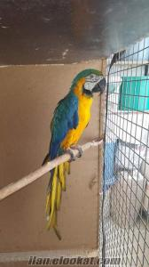 Izmir papağan