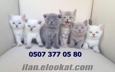 Safkan Scottish Fold ve Scottish Straight