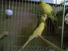 muhabbet kuşu yavru alınmış yerli