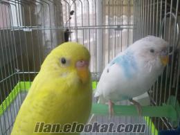 mersinde satılık bir çift muhabbet kuşu, büyük yuvası dahil
