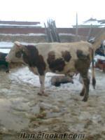 eskişehirden simental satılık inekler acil