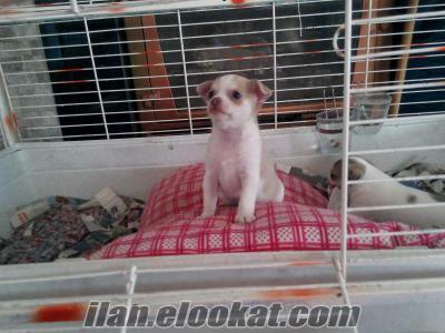 balıkesir ayvalık sahibinden satılık Chihuahua orjinal