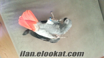 satılık jako papagnı ful evcıl konusan