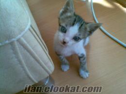 İstanbuldan 1, 5 aylık yavru kedi yuva arıyor...