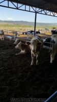 damızlık gebe düve ve inekler