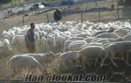 Bigada vadeli koyun arıyoruz.