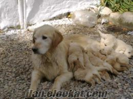 izmirden harika golden yavruları