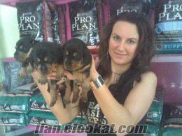 sosis dachshund köpek yavruları