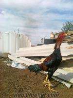 Kayseride hint horoz tavuk