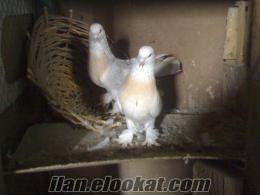 D.BAKIRDAN sahibinden satılık çift şebap güvercin