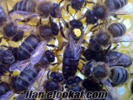15 nisan 2014- Burdurda ana arı satışı