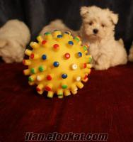 K9 Avrupa Evcil Hayvan Çiftliğinden Satılık Orjinal Maltes Terrier Yavruları