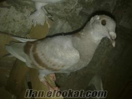 Bursa Osmangazide güvercin