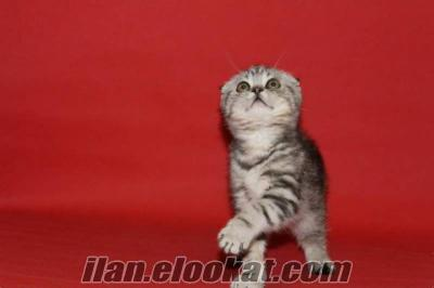 SATILIK SCOTTISH FOLD WHİSKAS TABBY KEDİ YAVRULARI